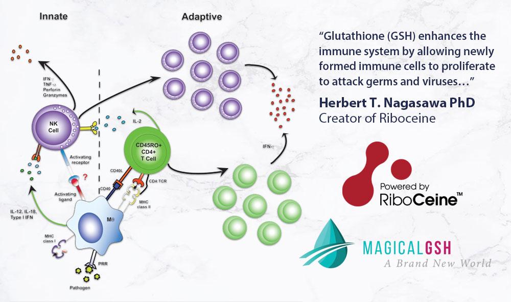 Glutathione GSH enhances the immune system